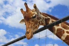 Observación de la jirafa usted fotografía de archivo libre de regalías