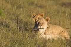 Observación de la leona y del cachorro Imagenes de archivo