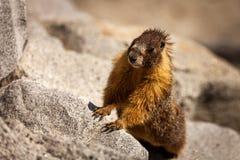 Observación de la marmota Foto de archivo libre de regalías