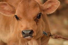 Observación de la vaca Fotos de archivo libres de regalías