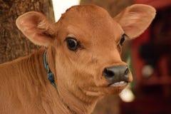Observación de la vaca Fotos de archivo