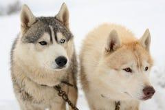 Observación de los perros esquimales Fotos de archivo libres de regalías