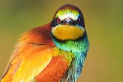 Observación de pájaros enojada del color Imágenes de archivo libres de regalías