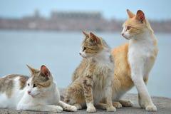 Observación de tres gatos Fotografía de archivo