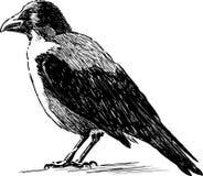 Observación del cuervo Fotografía de archivo