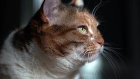 Observación del gato almacen de metraje de vídeo