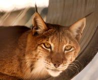 Observación del gato Fotografía de archivo libre de regalías