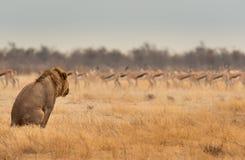 Observación del león Imágenes de archivo libres de regalías
