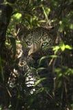 Observación del leopardo Foto de archivo libre de regalías