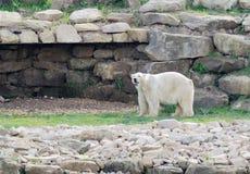 Observación del oso polar Fotografía de archivo libre de regalías