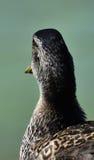 Observación del pato Foto de archivo