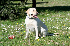 Observación del perro de Labrador Imagen de archivo libre de regalías