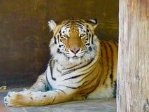 Observación del tigre Imágenes de archivo libres de regalías
