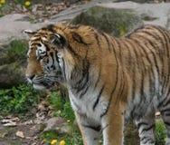 Observación del tigre Imagen de archivo