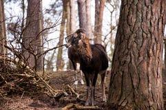 Observación majestuosa del mouflon Foto de archivo