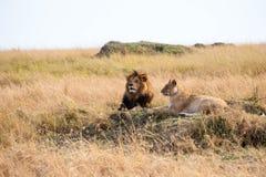 Observación de los leones Imágenes de archivo libres de regalías