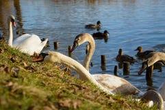 Observando y alimentando los cisnes y los patos en los bancos de la charca Imágenes de archivo libres de regalías
