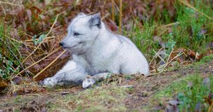 Observant arctic fox lying at forest floor in the late fall stock video footage