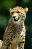 Observant cheetah. Observant cheetah with green background Royalty Free Stock Image