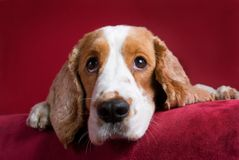 Observant Cocker Spaniel. Intent spaniel - selective focus on his eyes Royalty Free Stock Images