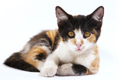 Observant eyes. Isolated tricolour cat relax and inspect Stock Photos