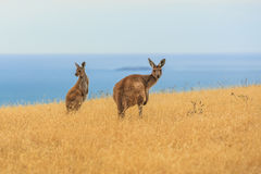 Observant kangaroo`s. Close up of two Western grey kangaroos on a mountainside along Backstairs Passage in the Deep Creek Conservation Park on the Fleurieu Royalty Free Stock Images
