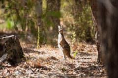 Observant kangaroo in the wild Royalty Free Stock Images