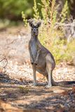 Observant kangaroo Stock Photo