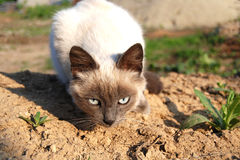 Observant kitty. Burmese cat observing everything around it Stock Images