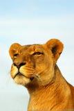 observant lioness Royaltyfri Fotografi