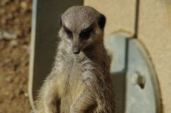 Observant Meerkat. Close-Up of Meerkat upright on hind legs looking forward and down Royalty Free Stock Image