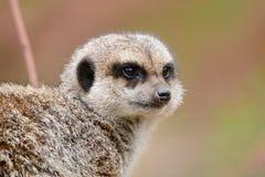 Observant meerkat. Head shot of an observant meerkat Stock Images