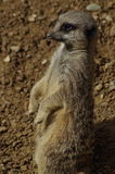 Observant Meerkat. Upright on hind legs looking off to left of shot Royalty Free Stock Photo