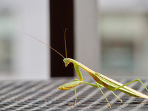Observant praying mantis resting in the sun Royalty Free Stock Photo
