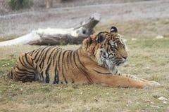 Observant Siberian tiger i den Phoenix zoo Fotografering för Bildbyråer