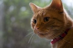 Observação do gato do gengibre Fotos de Stock Royalty Free