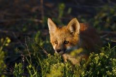 Observateur de Fox Photo libre de droits