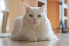 Observation blanche de chat Photo stock
