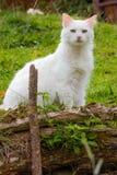 Observation blanche sauvage de chat Photo libre de droits