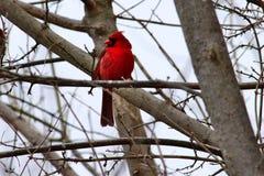 Observation cardinale de sa perche dans un arbre Image stock