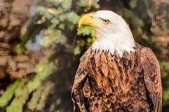 Observation d'aigle chauve Image stock