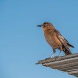 Observation d'oiseau de Brown Photo libre de droits