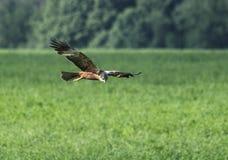 Observation d'oiseau pour la proie Images libres de droits