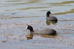 Observation d'oiseau près du lac Hora, Ethiopie image libre de droits