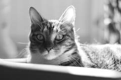 Observation d'une embuscade Portrait d'un chat domestique rayé aux cheveux courts Photos stock