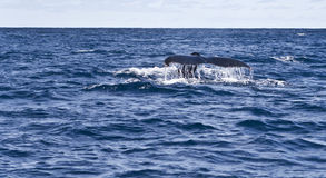 Observation de baleine Photos stock