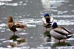Observation de canards Photo libre de droits