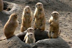 Observation de famille de chien de prairie Photos libres de droits