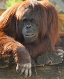 Observation de gens d'orang-outan Photo stock