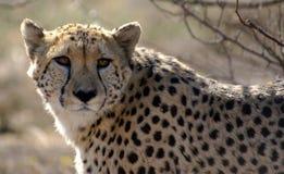 Observation de guépard photo stock